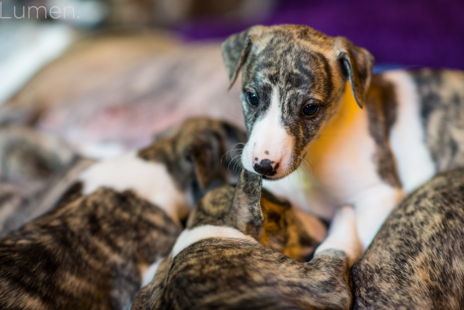 northwind whippets, puppy preview, lumen photography, adventurous photography, couture, duluth, minneapolis, minnesota, whippet, dog