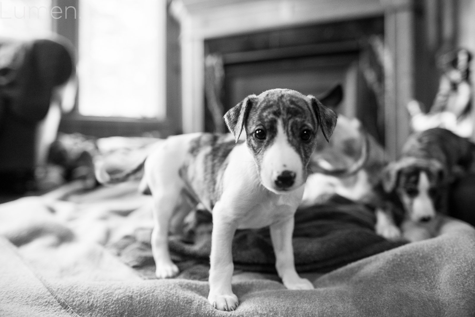 puppy preview, lumen photography, adventurous photography, couture, duluth, minneapolis, minnesota, whippet, dog